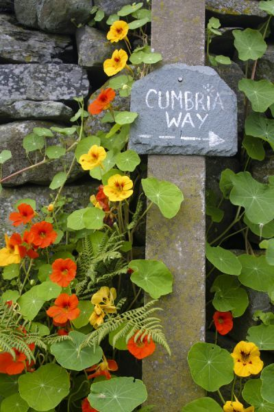 England, Cumbria, Gawthwaite. Nasturtium and other flowers grow next to Cumbria Way sign and dry stone wall on Lake District National Park Boundary