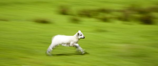 England, Cumbria, The Lake District National Park. A spring lamb running in a field near Dungeon Ghyll