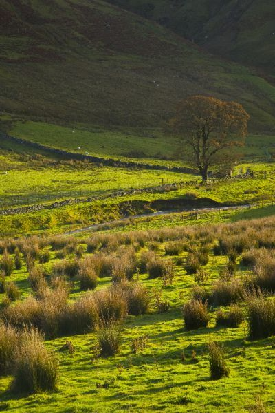 Scotland, Scottish Borders, Liddesdale. Morning light scattered across tussock land and a lone tree, beneath the shadow of a border upland