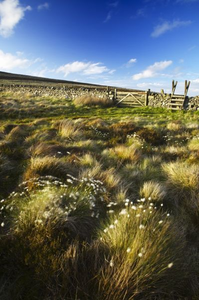 Scotland Scottish Borders The Pennine Way Cotton grass on moorland near the England Scotland border close to the Schil
