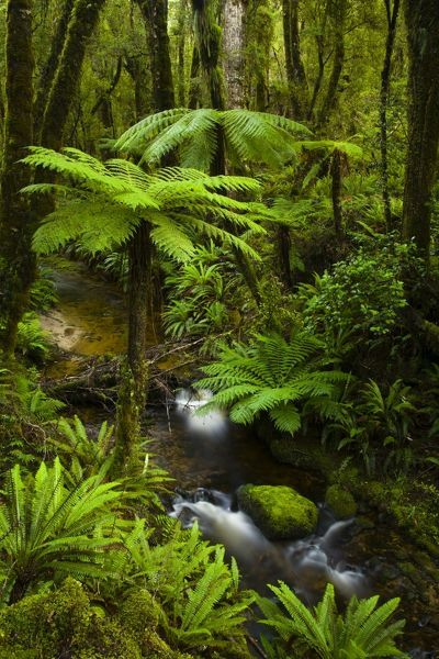 New Zealand, Southland, Tuatapere Hump Ridge Track. Small stream running through lush temperate rain forest encountered on the Tuatapere Hump Ridge Track