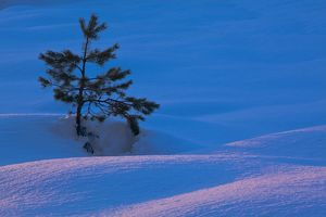 Scotland, Scottish Highlands, Abernethy. Single Fir Tree surrounded by drifting snow